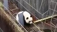 王思聪的偶像是诺兰, 很多大腕的偶像是国宝熊猫, 下面这只熊猫过河出了洋相