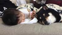 熟睡中的柴犬 被小宝宝踢醒后这反应萌翻了