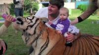 家里饲养宠物老虎什么体验, 别人遛狗我遛虎