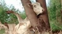 牛牛头被卡住幸得踩单车人士用尽办法终得救