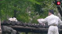 傲娇的国宝熊猫宝宝对饲养员撒娇, 不愿意走路非得让饲养员抱着, 可累坏了。