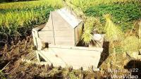 又到一年收割季节, 伙伴们有多久咩有见到乡村里边的打谷机了勒~