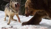 比特VS灰狼-成年狼实力很强!