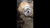 趁老虎睡着吓醒老虎!
