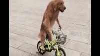 自从狗子学会了骑车, 每天买菜的重任就交给它了