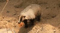 獾子全身都是宝, 大战狐狸也毫不吃亏, 真是东北大地上的赚钱神器