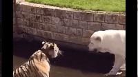 狗狗把老虎逼到水池, 不允许老虎从水池上来, 虎落平阳被犬