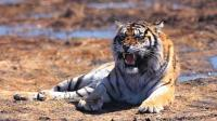 老虎号称森林之王 杀死一只叶猴易如反掌