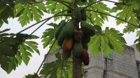农村里烂在树上没人摘的水果, 小伙摘回去吃两口就扔掉了!
