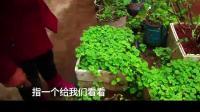 农村81岁老太太种在家门口的野草, 竟称是保肾元, 降尿酸, 治疗尿毒症的宝贝!