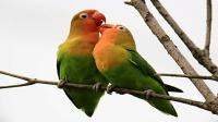 虎皮鹦鹉吃什么食物最好 牡丹鹦鹉叫声视频