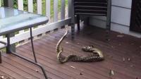 实拍两公蛇为争伴侣大打出手