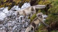 海鸟雏鸟学起飞摔在地上, 北极狐捡了一大堆外卖