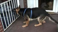 搞笑的德国牧羊犬, 知道自己太胖了要减肥, 自己在跑步机上减肥