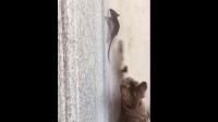 猫和老鼠现实版, 老鼠急了也会爬墙, 这次杰瑞被虐惨了!