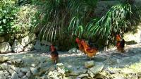 你吃过这种山林散养的山地鸡吗? 需要1年才长大