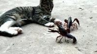 猫咪不喜欢吃小龙虾吗, 两只小龙虾就在面前, 这货却无动于衷!