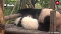 熊猫奇福妈妈抱着小女儿, 拍拍女儿一起睡觉! 哄孩子睡觉