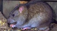 老鼠最怕它, 撒点它在地上, 家里再多的老鼠来多少灭多少