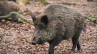 围捶百斤大野猪, 头犬身负10厘米伤口, 却毫无松口的意思