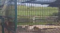 豹子和老虎关在一个笼子, 豹吓的筛糠不是人投食, 老虎铁定吃了它