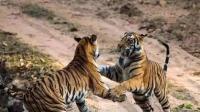 百兽之王老虎这里的12头老虎, 全都吃过人, !
