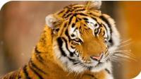 老虎你麻烦大了! 老虎吃野猪, 野猪岂是谁想吃就吃的!