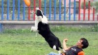 训练贵宾 训练狗狗大小便