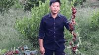许多人没有见过的红桃k果, 是高级冷饮的原材料, 补血养颜功效强