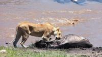 独眼狮子霸气捕杀非洲角马, 少了一个眼睛战斗力一点不少