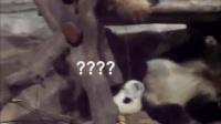 有只国宝在树下睡觉另一只熊猫在树上直接撒尿下去树下熊猫一脸懵