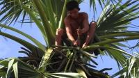 很多人都不知道, 原来棕榈树的汁能喝, 一颗树能供应两个人