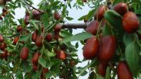 枣树种植技术枣树病虫害防御防治枣树各个阶段的施肥管理枣树种植视频