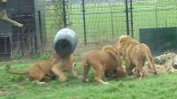 狮子头部钻入塑料桶中被困 谁敢帮它取下?
