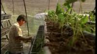 草莓优质丰产栽培实用技术整形修剪草莓花果管理及病虫害防治技术视频