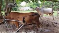 美女带着自家的母牛去配种, 旁边的人指指点点