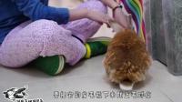 超乖的兔兔让主人薅毛! 丧病的主人快把兔兔的毛都薅秃了