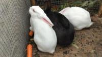 萌宠小白兔搞笑视频集锦