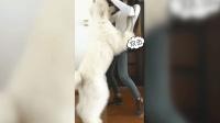 女主人拽著狗狗耳朵翩翩起舞, 可憐巨貴只能扭動身體配合她迅雷下載