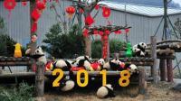 最萌祝福 17只熊猫宝宝集体向全国人民拜年