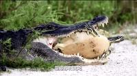 超搞笑, 鳄鱼想吃鳖, 结果被忽悠