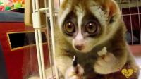 小懒猴吃米团, 好萌好可爱。#萌宠物星球##小懒猴##萌宠生活秀##萌宠联盟#
