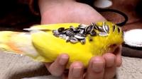 这只鸟太乖了, 往小鹦鹉身上放瓜子, 小家伙一动也不动