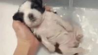 主人把小狗放在水池中洗澡, 它蜷缩着身体, 样子也太乖太萌了!