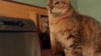 猫咪躲在柜子里偷袭同伴, 皮这一下很开心吗?