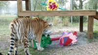 老虎和猞猁的开心情人节, 抓住礼物不撒手啊!
