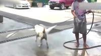 小伙用水枪给狗洗澡, 这条狗真乖, 要是换做哈士奇可能就不是这样了