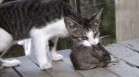 狂妄老鼠挑衅猫咪, 被打的全身骨折, 皮一下你很开心?