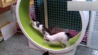 猫猫永远都是好奇宝宝, 一个大号仓鼠轮玩的挺开心
