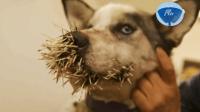 狗狗被豪猪的刺儿扎满嘴鼻子都是, 眼看就要危及生命, 看着都让人心疼